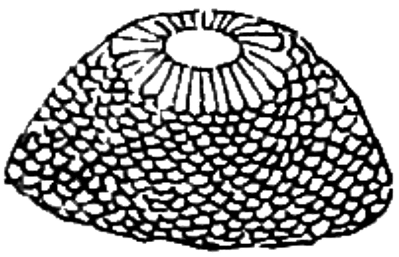 roth-1897-hairnet